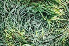 与早晨霜的绿草与阳光在庭院里,结冰的草 免版税图库摄影