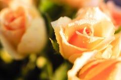 与早晨露水的橙色玫瑰 免版税图库摄影