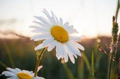 与早晨露水的特写镜头大白色春黄菊在黎明背后照明 库存图片