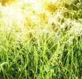 与早晨露水的绿草在阳光下 特写镜头 夏天横向 免版税库存图片