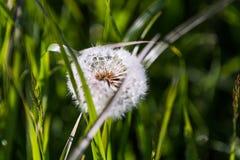 与早晨露水的蒲公英种子在绿色领域在春天 免版税库存图片