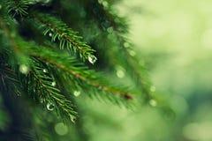 与早晨露水的杉树在枝杈 库存照片