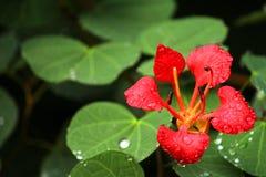 与早晨露水的美丽的红色花 免版税库存照片
