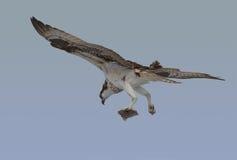 与早餐的白鹭的羽毛 免版税库存图片