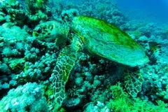 与旭日形首饰的绿浪乌龟在水下的背景中 免版税库存照片
