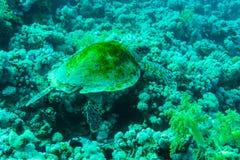 与旭日形首饰的绿浪乌龟在水下的背景中 免版税图库摄影