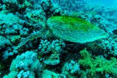 与旭日形首饰的绿浪乌龟在水下的背景中 图库摄影