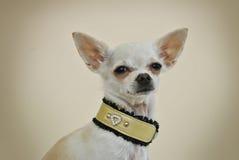 与时髦的衣领的奇瓦瓦狗 库存照片