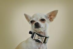 与时髦的银色弓的奇瓦瓦狗 免版税库存图片