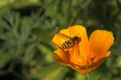 与昆虫的一朵黄色花在雀鳝的一个夏天晴天 免版税库存照片