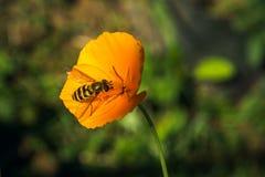 与昆虫的一朵黄色花在雀鳝的一个夏天晴天 库存图片