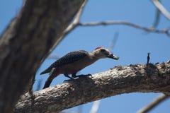 与昆虫的啄木鸟 免版税库存图片