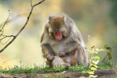 与昆虫的日本短尾猿 免版税库存照片