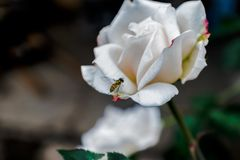 与昆虫的白色玫瑰 库存图片