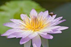 与昆虫的美丽的桃红色莲花 免版税库存图片