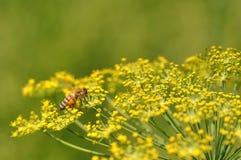 与昆虫的莳萝花 免版税库存照片