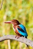 与昆虫的蓝色翠鸟鸟在额嘴 免版税库存照片