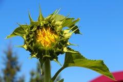 与昆虫的闭合的向日葵在中部 免版税库存图片
