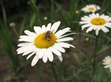 与昆虫的雏菊 图库摄影