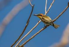 与昆虫的食蜂鸟鸟 免版税库存照片