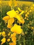 与昆虫的黄色花 库存图片