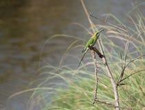 与昆虫的绿色鸟 库存照片