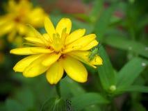 与昆虫,特写镜头视图的黄色花 免版税库存照片