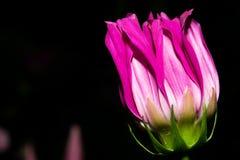 与明亮地向上舒展的紫罗兰色白色瓣的一朵小花 在深黑色背景 宏指令 免版税图库摄影