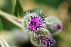 与明亮地紫罗兰开花的瓣的一朵花 宏指令 免版税库存照片