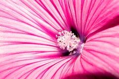 与明亮地紫罗兰色白色瓣和白色花粉的一朵大花 宏指令 免版税库存照片