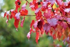 与明亮的叶子的美丽的秋天树 图库摄影