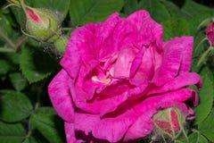 与明亮的桃红色瓣的一朵开花的玫瑰色花 宏指令 库存照片