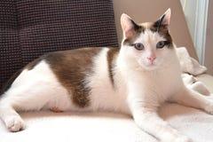 与明亮的桃红色鼻子和大蓝眼睛的猫 免版税库存照片