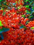 与明亮的橙色莓果装饰背景纹理的宏观照片丛生火棘 免版税库存图片