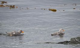 与明亮的橙色额嘴的两只游泳的火轮鸭子 库存图片