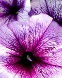 与明亮的淡紫色瓣的喇叭花 库存图片