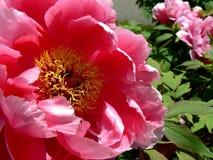 与明亮的红色开花的牡丹的灌木 图库摄影