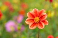 与明亮的红色或桃红色或者珊瑚大丽花的惊人的美好的bokeh背景开花 五颜六色的花卉自然问候或 免版税图库摄影