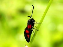与明亮的红色斑点的黑蝴蝶 免版税库存照片