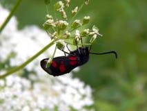 与明亮的红色斑点的黑蝴蝶 库存照片