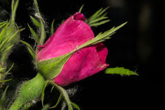 与明亮的红色瓣的一朵玫瑰花开始开花 在与绿色叶子的黑暗的背景 宏指令 免版税库存照片