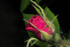 与明亮的红色瓣的一朵玫瑰花开始开花 免版税库存照片