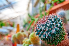 与明亮的红色脊椎的绿色仙人掌 与平直的刺的植物Mammillaria自温室 复制空间 免版税库存图片