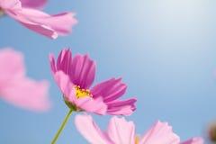 与明亮的蓝天的波斯菊花 免版税库存图片