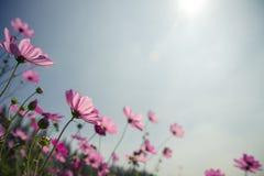 与明亮的蓝天的波斯菊花 图库摄影