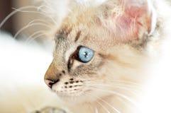 与明亮的蓝眼睛特写镜头画象的婴孩白色蓬松小猫 库存照片