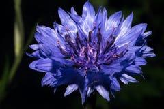 与明亮的蓝色瓣的一朵花在黑暗的背景 图库摄影