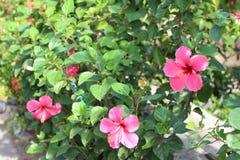 与明亮的颜色的热带灌木 免版税图库摄影