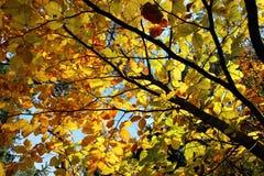 与明亮的黄色叶子的树上面 库存照片