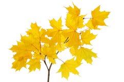 与明亮的黄色叶子的槭树分行 库存图片